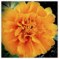 Orange Flower- Full Sun.