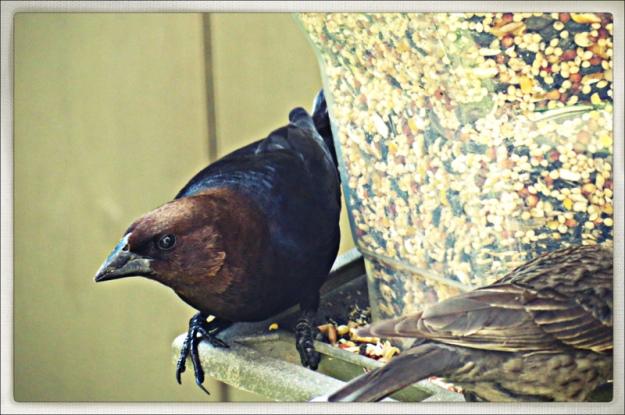 Angry Bird on Feeder