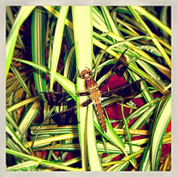 Dragonfly?